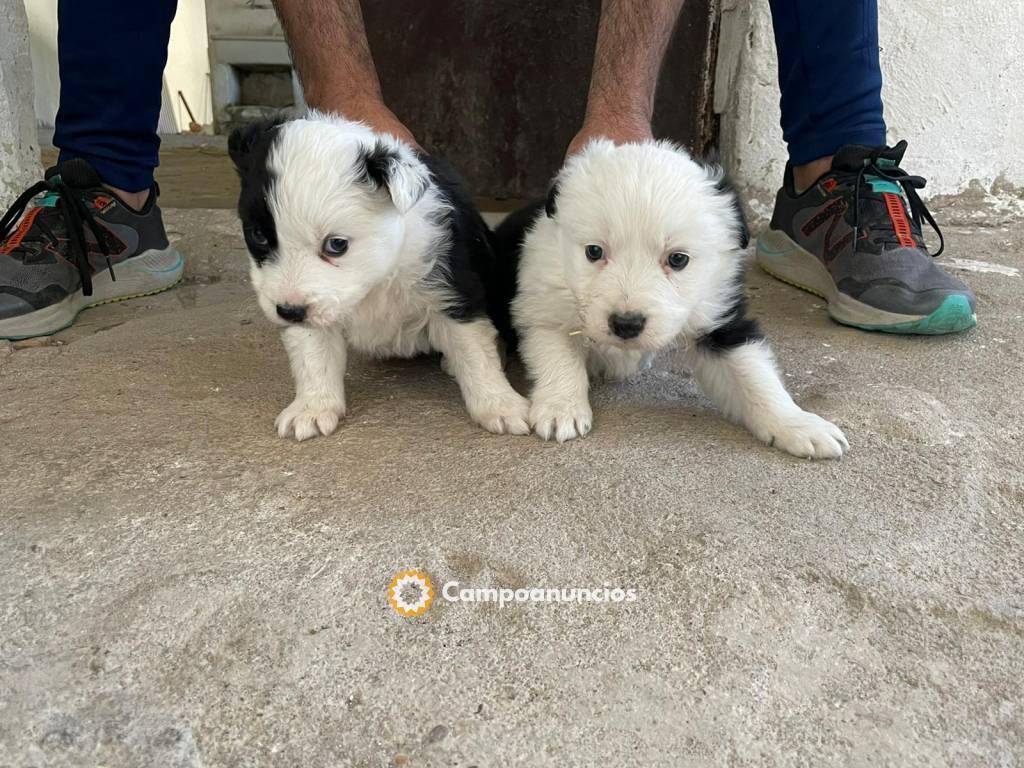 2 cachorros Border Collie  en Valladolid
